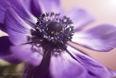 This is for me...no drops... (Arianna __) Tags: light sun flower macro nikon purple violet sigma flare sole fiore viola luce macrogroup 50mmmacro d80