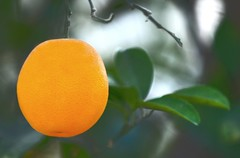 orange (PhotoGrapherQ80 KWS) Tags: orange fruit hassan adel abdeen