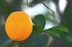 orange (PhotoGrapherQ80 «KWS») Tags: orange fruit hassan adel abdeen برتقال