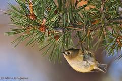 regolo_roitelet huppé_Goldcrest_regulus regulus_ambientato (alain ghignone) Tags: birds montagne 5 uccelli regulus alain bois oiseaux bosco regolo d300s sigma500f4 ghignone