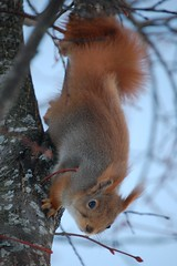 Cute creature (~Ranveig Marie~) Tags: wild orange tree cute animal norway fur mammal grey rodent norge eyes squirrel dof little bokeh head hiking walk wildlife branches small natur hike norwegian tur tiny trunk akershus mammalia rodentia eichhrnchen naturewalk redsquirrel gnager norsk ekorn nordisk sciurusvulgaris ullensaker sciuridae klfta skandinavisk fottur eurasianredsquirrel ntteliten pattedyr sciurius