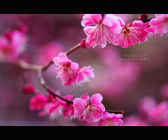 'A colour of maiden's first lip rouge..' (Marie Eve K.A. (away..)) Tags: pink red flower color macro nature canon rouge eos kyoto kiss bokeh 60mm ume f28 plumtree plumblossoms   redplum masterphotos canoneoskissx2