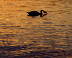 Black Swan (Maureen Bond) Tags: ca light sunset lake water golden swan twilight waves twinkle local balboapark maureenbond liquidcopper