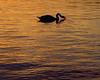 Black Swan (Maureen Bond) Tags: ca light sunset lake water golden swan twilight waves twinkle local balboapark maureenbond liquidcopper