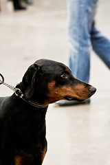 Dobermann (djohansson80) Tags: dogs mydog dobermann 2011