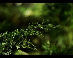 Deep in the Enchanted Emerald Forest.... (S_Freer) Tags: tree green 50mm bush nikon bokeh january juniper 73 126 d7000 {sfreer} ourdailychallenge 111picturesin2011