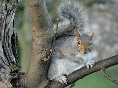 DSC09668 (Moldovia) Tags: tree cute animal mammal rodent squirrel outdoor wildlife wildanimal pointandshoot creature pointshoot graysquirrel sonydschx1