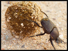 Dung Beetle 02a (Magic Moments by Pippa) Tags: africa southafrica beetles insects nature kruger wildlife