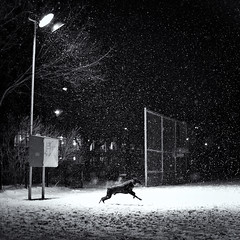 Doberman (*Imperialis*) Tags: blackandwhite dog snow toronto night doberman highiso bsquare theesplanade