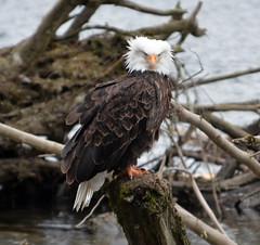 eagle 8315 (Chuck Hilliard Photography) Tags: washington nikon state pacific northwest eagle bald raptor d7000