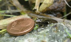 Leaving the pond for the first time (alison laredo) Tags: ireland one coin wildlife cent tail small size mayo tadpole froglet castlebar wwwalisonlaredocom