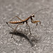 dance with me (nosha) Tags: light beautiful beauty animal mantis dance lightroom mantid nosha