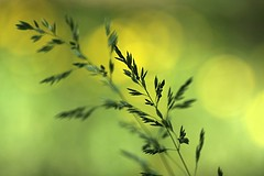 memories of green (Lamson Nouwenn ( away...)) Tags: macro green grass yellow closeup canon golden dof bokeh lawn beautifulbokeh