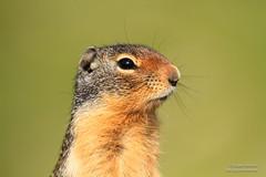 Columbian ground squirrel (Spermophilus columbianus) (Roger Kirchen) Tags: canada nature canon wildlife sigma alberta mammals bnp banffnationalpark columbiangroundsquirrel spermophiluscolumbianus eos7d 150500