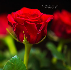rose (BarbaraWilli) Tags: red flower green rose focus bokeh valentine valentinstag itsawonderfulworld goldstaraward