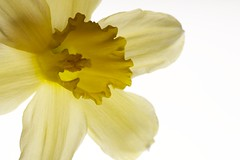 Light Daffodil (MrZardoz) Tags: light flower macro yellow petals indoor daffodil translucent pollen narcissus tamron90mm