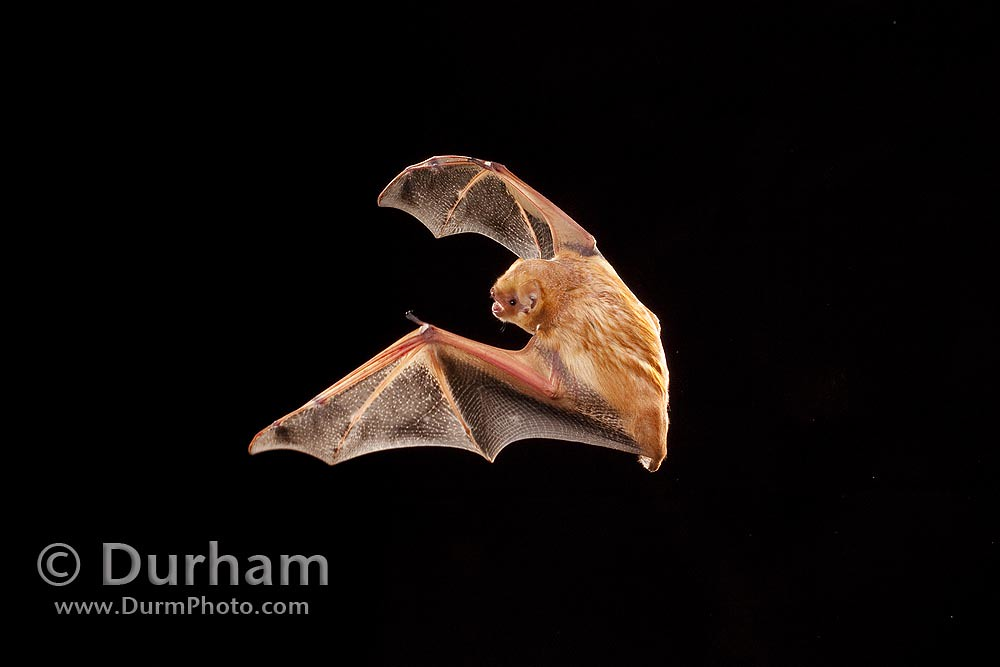 © Michael Durham / eastern red bat