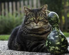 Are you sure that this pumpkin makes me look slim ? (FocusPocus Photography) Tags: cleo katze cat chat gato tier animal haustier pet garten krbis pumpkin garden