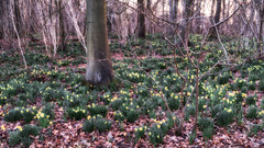 2015 Gloucester Woods - Evening In the Daffodil Wood (Birm) Tags: dymock wood gloucestershire trees evening spring daffodil wild light woodland green yellow sony narcissus pseudonarcissus