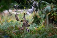 Buck Fallow Deer. (EXPLORED) (spw6156 - Over 5,160,003 Views) Tags: buck fallow deer iso 1250 copyright steve waterhouse