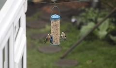Goldfinch Visitors (defblow) Tags: goldfinch finch bird garden rain raindrop outdoor nature day wet birdfeeder bbc summerwatch pair