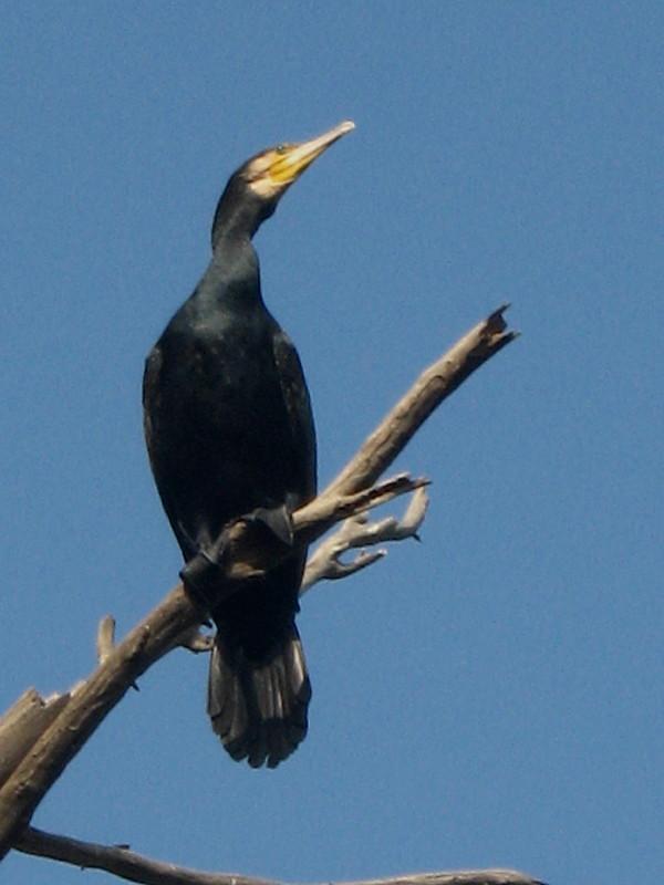 20-11-2010-cormorant10