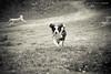 46/52 (fotoham) Tags: dog fall leaves blackwhite woods canine bordercollie indi lightroom 52weeksfordog akitainthebackground