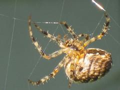 Macro Spider (Terrÿ) Tags: seattle blue detail nature yellow canon bug insect spider washington northwest arachnid fear westcoast flikr tah