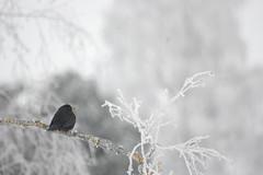 Frozen Blackbird (mellting) Tags: winter snow bird frost turdusmerula blackbird eurasianblackbird featheryfriday fantasticnature goldstaraward absolutelyperrrfect flickraward5 steskilskyrkogrd mellting ringexcellence matsellting