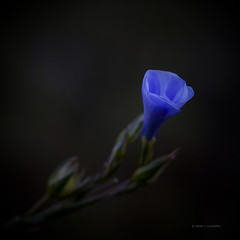 Azul (Jose Casielles) Tags: luz azul flor pequea belleza yecla florecilla fotografasjcasielles