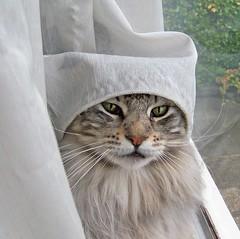 Thank you for 500.000 views. (Cajaflez) Tags: pet cute cat kat chat longhair mainecoon katze gatto kater floris c300 topshots cc200 cc100 500000views 100commentgroup saariysqualitypictures newgoldenseal
