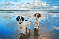 Happy Beach Dogs (IMAGES FROM MAN.) Tags: winter sea portrait sky dog colour beach water clouds reflections landscape coast seaside nikon raw vivid springerspaniel reflexions cloudscape isleofman manx cloudscapes ramsey gundog d300 1755f28 colorphotoaward bestcapturesaoi raycollister