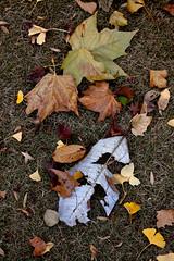 IMG_7665.jpg (Kiron808) Tags: autumn autumnfoliage japan japanese tokyo maple foliage   maples shinjyukugyoen  gt vh
