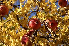 OTOÑO 15 / Autumn (ángel mateo) Tags: ángelmartínmateo otoño ríoandarax fondón almería andalucía españa árbol granado punicagranatum granada ocre amarillo hoja ángelmateo laalpujarra