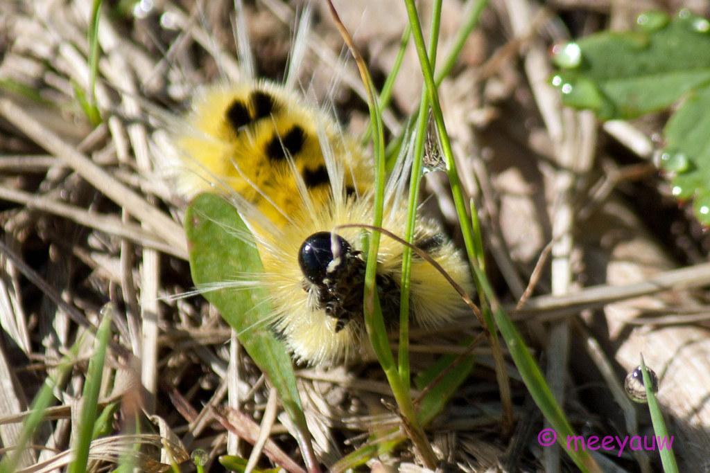 spotted tussock moth  03.jpg