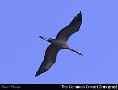 Common Crane in flight (Grus grus)