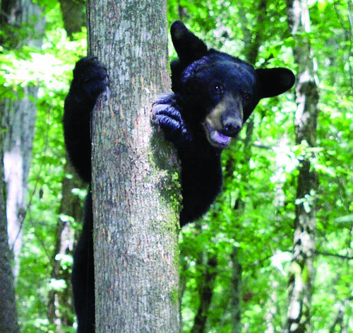 Louisiana black bear.