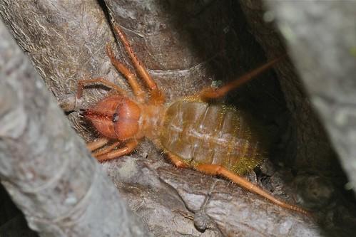 Solifugid (Daesiidae)