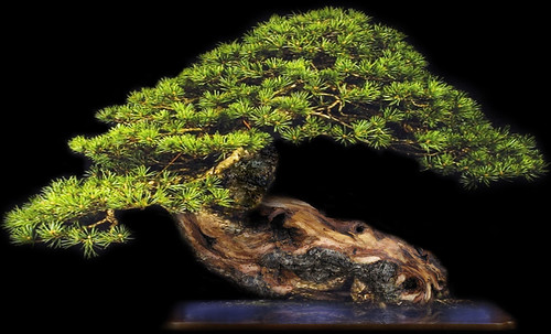 """Bonsai049 • <a style=""""font-size:0.8em;"""" href=""""http://www.flickr.com/photos/30735181@N00/5261943002/"""" target=""""_blank"""">View on Flickr</a>"""