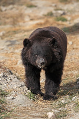 Chowti, free from fear and torture (WSPA Canada) Tags: bear new food home up female doors blind time outdoor structures her give used using explore smell brc were after safe forced took trade period refused baiting sticking borders alternative owner quarantine asiatic enclosure sense herself opened confiscate coaxed timidly chowti liveihood familiarise