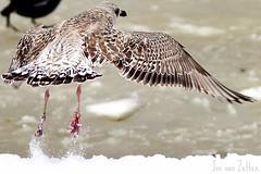 Op zoek naar voedsel (Jos van Zetten) Tags: sneeuw meeuw westerpark zeemeeuw