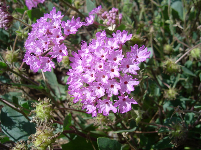 Purple Sand Verbena (Abronia angustifolia)