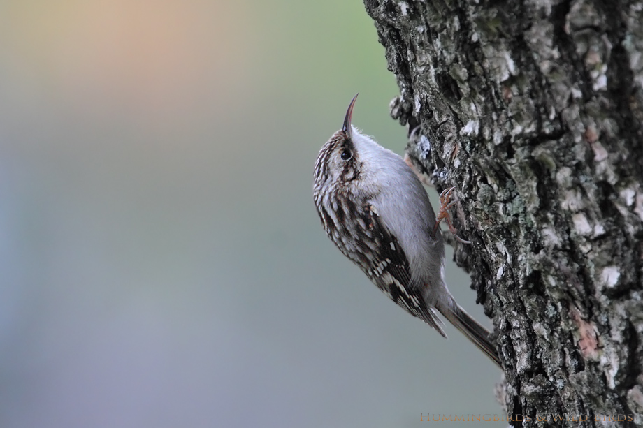 Brown-Creeper-111002