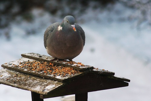 Pigeon in Winter