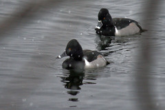 ducks 051