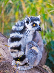 Ring-tailed Lemur, Lemur catta (aeschylus18917) Tags: nature japan zoo tokyo nikon ueno wildlife lemur   primate  uenopark primates ringtailedlemur  uenozoo  lemurcatta  tait lemuriformes 200400mmf4gvr lemuridae  uenoken  taitku uenoimperialgiftpark uenoonshiken d700 strepsirrhini onshiuenodbutsuen  danielruyle aeschylus18917 danruyle druyle   lemurinae 200400mmf40gvr