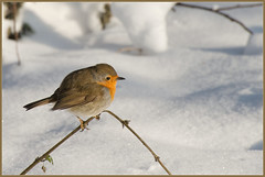 Fatso (Joost N.) Tags: winter shadow sun snow holland cute bird robin sunshine animal relax nikon pretty sneeuw relaxing nederland natuur scene 300mm dieren joost chill tak vogel beesten roodborstje twiske notten