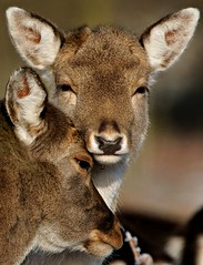 Don't Worry Now, Chelsea Will Win Again One Day... (paulinuk99999 (lback to photography at last!)) Tags: park england ngc hunting royal surrey deer herd fallow bushy paulinuk99999 sal70400g mothernaturesgreenearth
