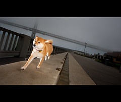 Keep Running - 52/52 (kaoni701) Tags: sanfrancisco portrait dog puppy japanese action theend running baybridge embarcadero suki finale shibainu sprint 2010 1635 shibaken  thatsall 5252 week52 strobist d700 sb900 52weeksfordogs