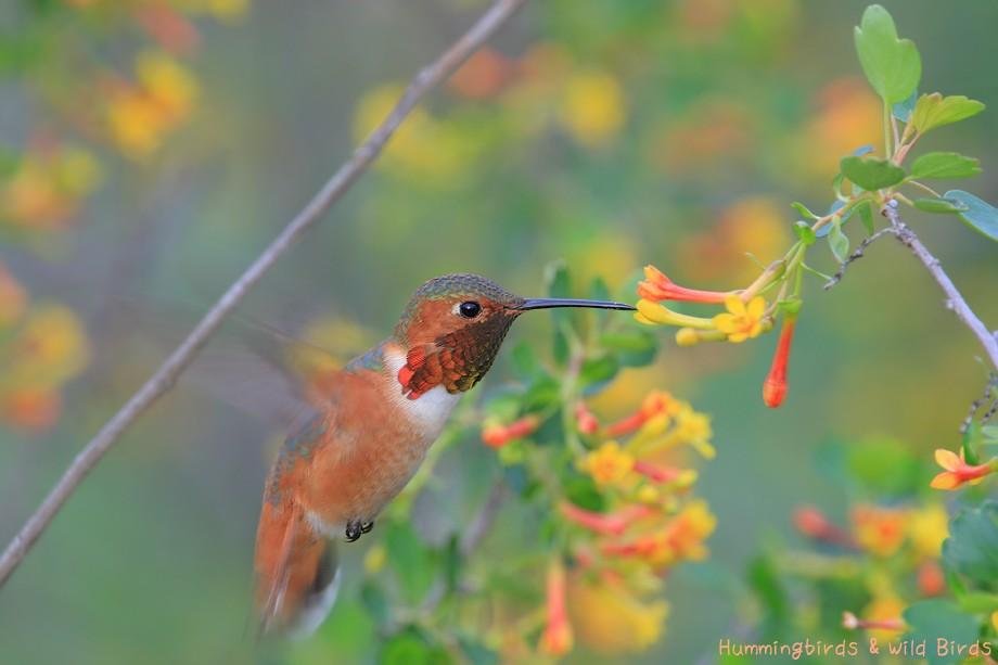 Allen's Hummingbird 030110-53